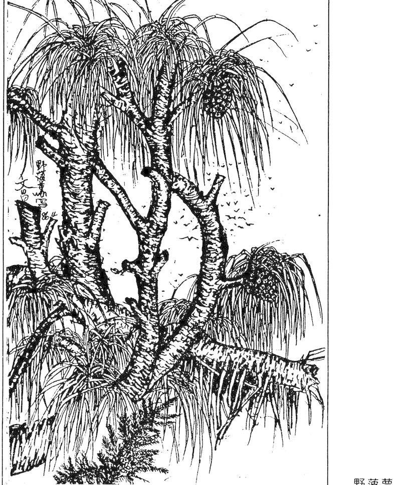 野菠萝 插画 插图 风景画 钢笔画 绘画书法 树 野菠萝设计素材