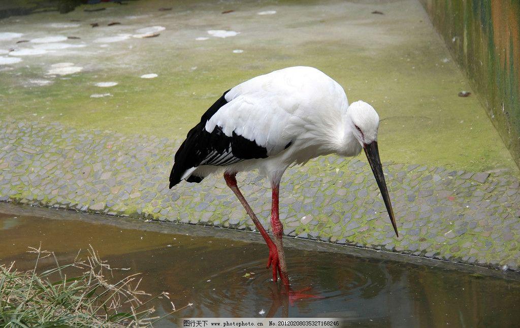 鸟类 白鹳 飞禽 白鹤 动物园 动物 鹳 大鸟 鹤 灰鹤 生物世界 摄影 72