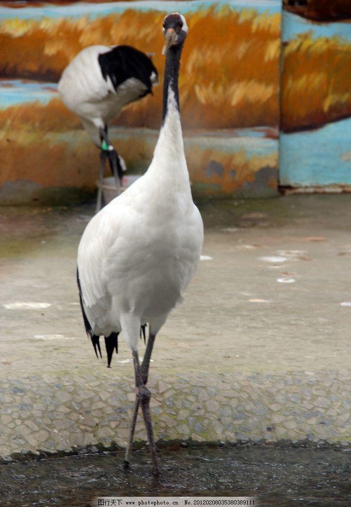 鸟类 白鹤 飞禽 白鹳 动物园 生物世界 摄影