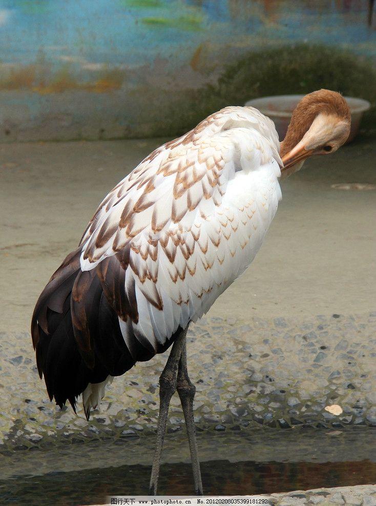 鸟类 鹳 飞禽 白鹤 白鹳 动物园 大鸟 灰鹤 生物世界 摄影