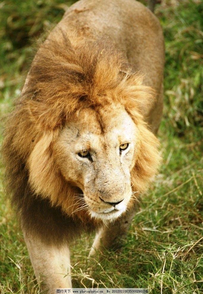 狮子 森林之王 野生 动物 草地 野生动物 生物世界 摄影 72dpi jpg