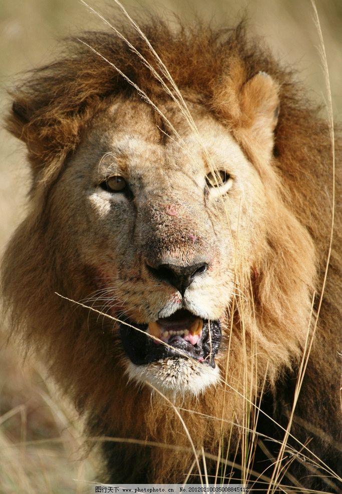 野生狮子 狮子 森林之王 野生 动物 草地 草原 野生动物 生物世界