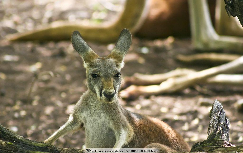 小袋鼠 野生 动物 可爱 野生动物 生物世界 摄影 300dpi jpg
