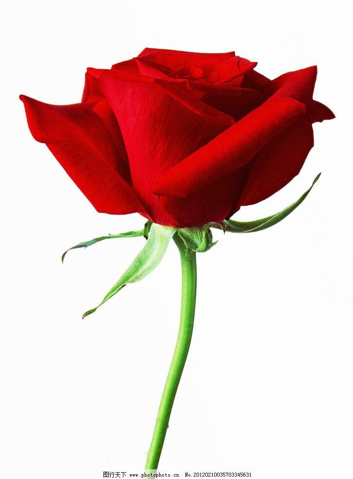 玫瑰花 红玫瑰 一朵玫瑰 花朵 鲜花 花卉 情人节礼物 花束 浪漫