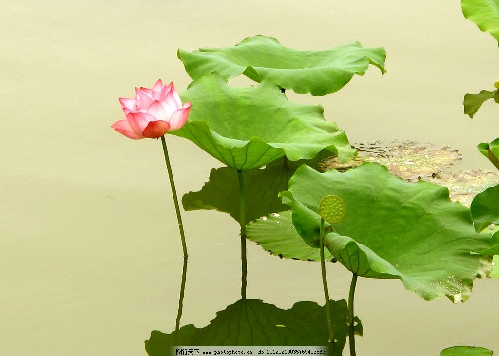 荷塘 荷花 池塘 莲藕 公园 生态公园 园林 生态 自然 花草 生物世界
