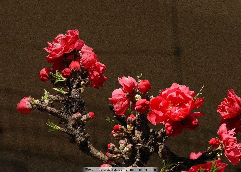 春天的花 寿星桃花花 红色桃花 嫩绿叶 红色 红花 粉红色 花草 生物