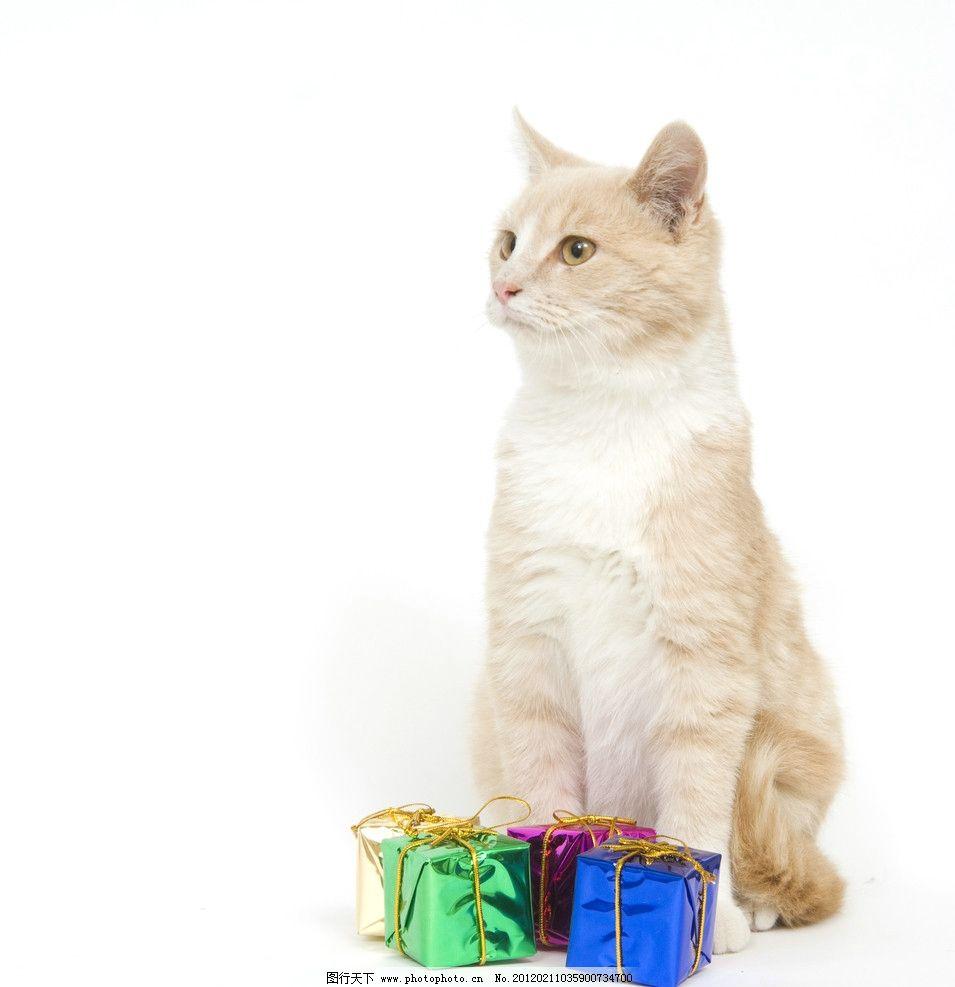 可爱小猫 可爱 小猫 猫咪 kitty 节日 礼物 礼品 家禽家畜宠物 家禽