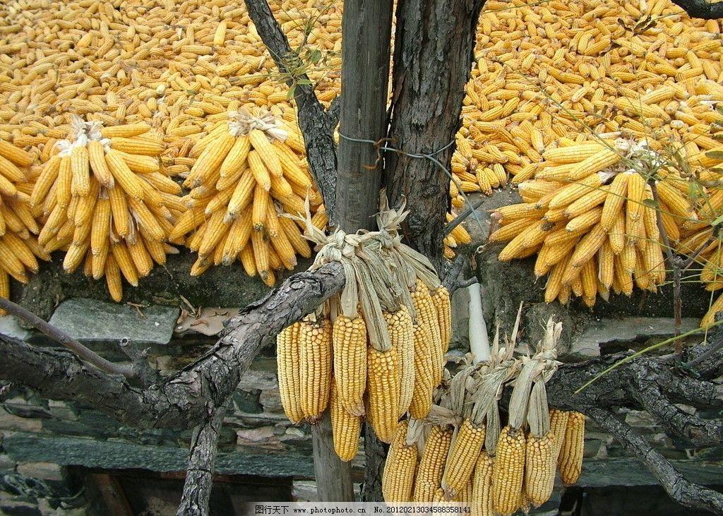 农作物 玉米 农家 农家院 晒玉米 农作物照片集 田园风光 自然景观