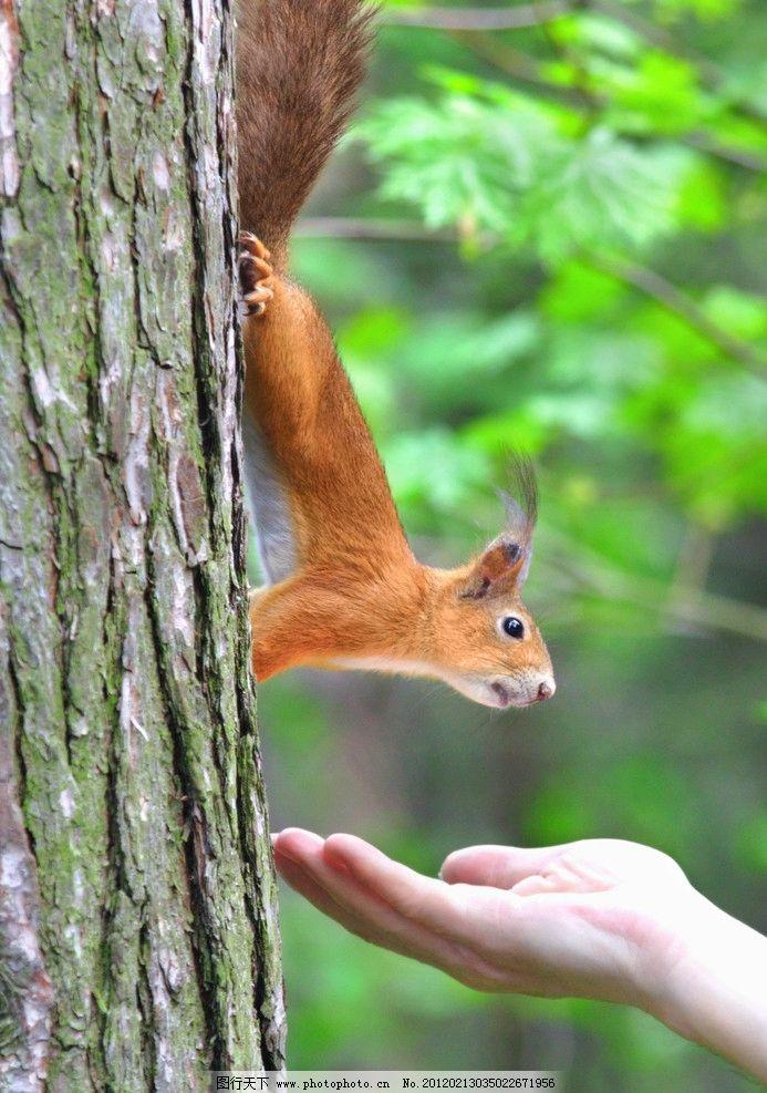 小松鼠 珍贵 野生 动物 森林 树木 可爱 野生动物 生物世界 摄影 100