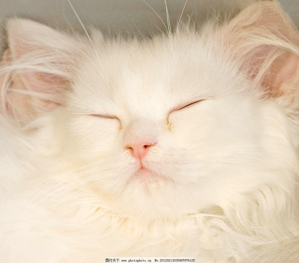 可爱小猫 猫咪 宠物 白猫 摄影