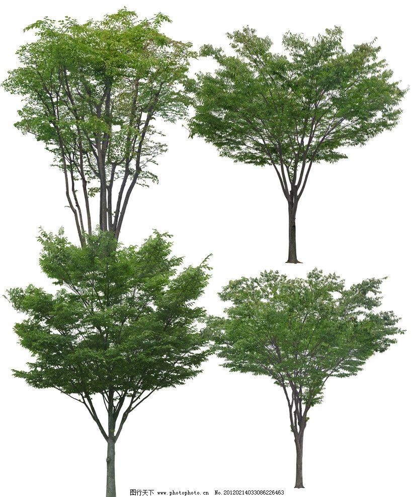光叶榉树图片