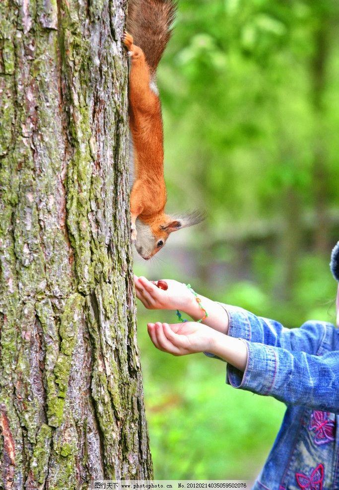 小松鼠 珍贵 野生 动物 森林 树木 可爱 摄影