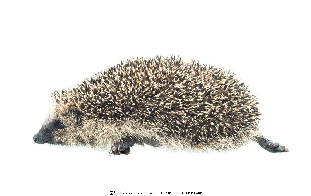 小刺猬 野生 珍惜 珍贵 保护 动物 可爱 野生动物 生物世界 摄影 240