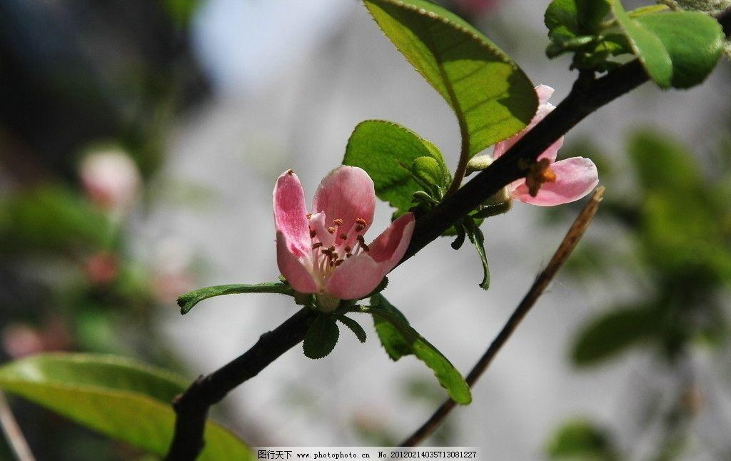 木瓜树开花图片