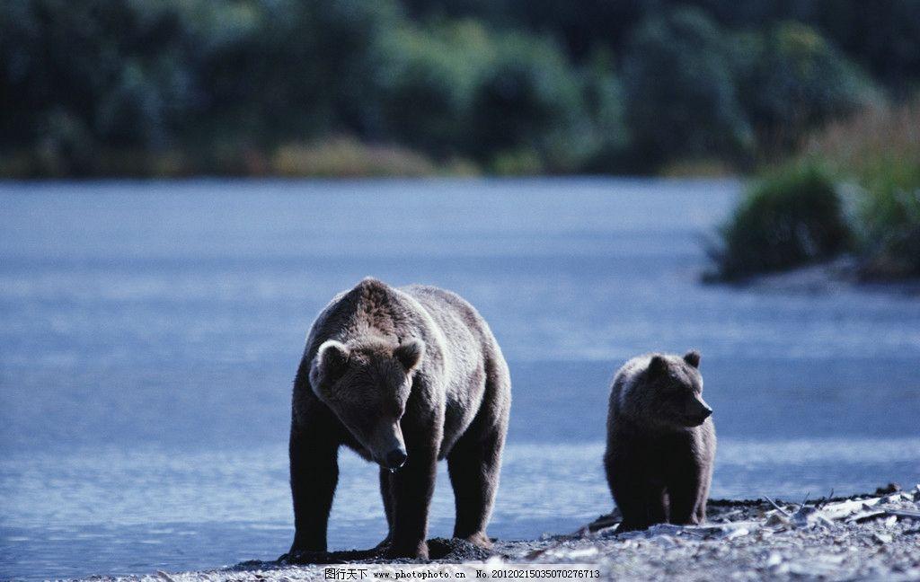 大熊与小熊 熊 母与子 岸边 河流 森林 野生动物 生物世界 摄影 300