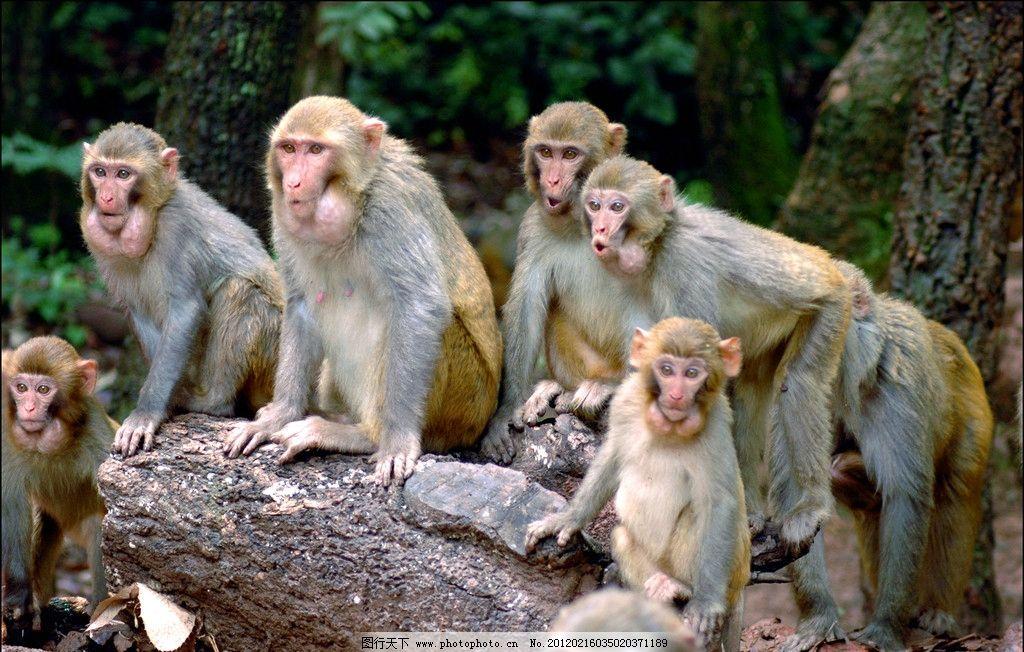 泸山猴子 泸山 猴子 树根 观望 好奇 猴群 可爱 动物 树木 野生动物