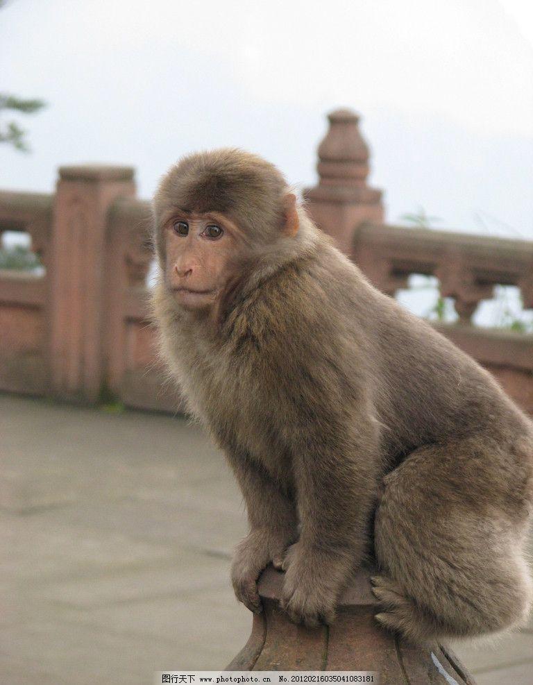 猴子 峨眉山猴子 小猴 野生动物 生物世界 摄影 180dpi jpg