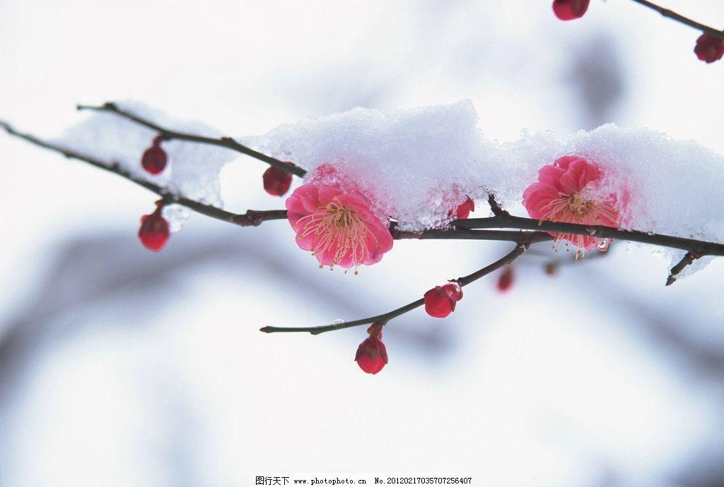 傲梅 花草 一剪梅 花儿 梅花 寒冬美景 雪中傲梅 生物世界 摄影 350