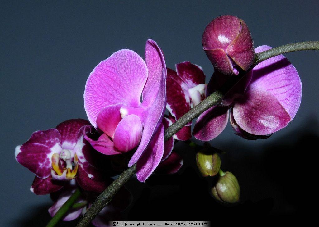 蝴蝶兰 兰花 花蕾 花絮 紫色花朵 花卉 蝴蝶 兰科花卉 含苞待放 摄影