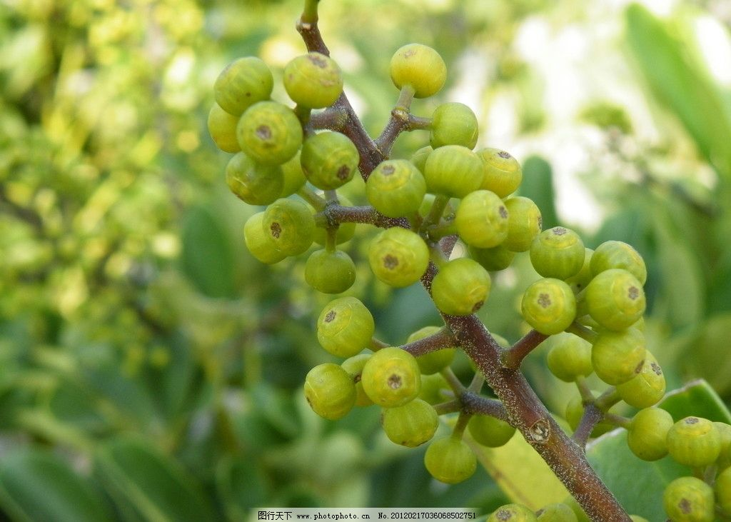 野果 绿色野果 植物摄影 春天景色 绿色 绿色植物果实 自然风景 其他