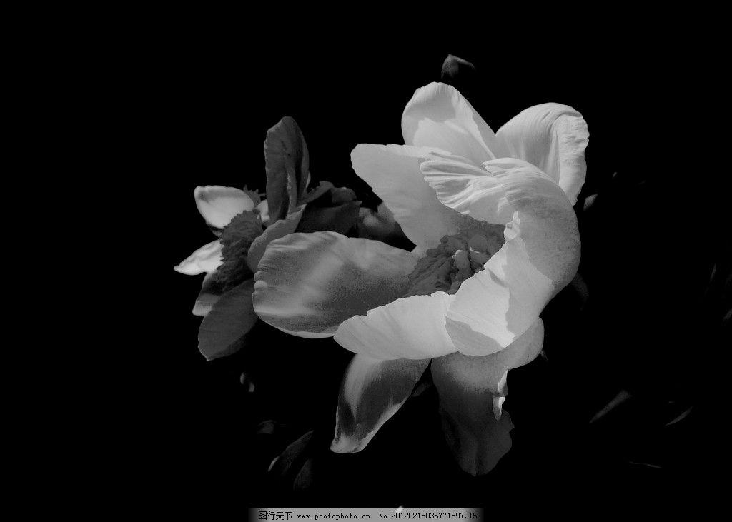芍药花 (黑白)图片