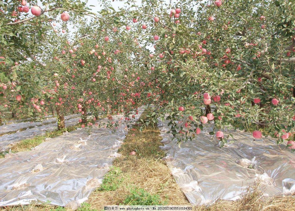有机苹果园图片