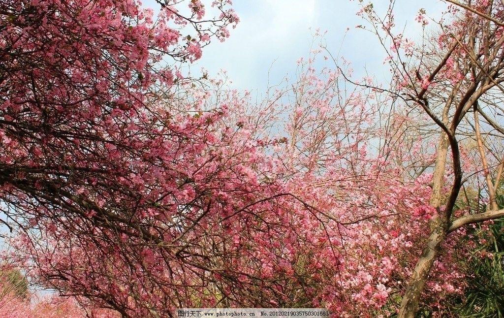 樱花 红花 植物 花卉 绿叶 叶子 树枝 植物花卉 花草 生物世界 摄影