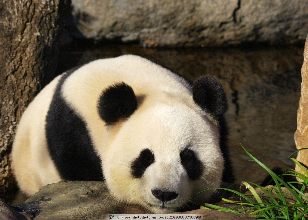 大熊猫 动物摄影 野生动物 熊猫 国宝 中国大熊猫 大熊猫图片 熊猫