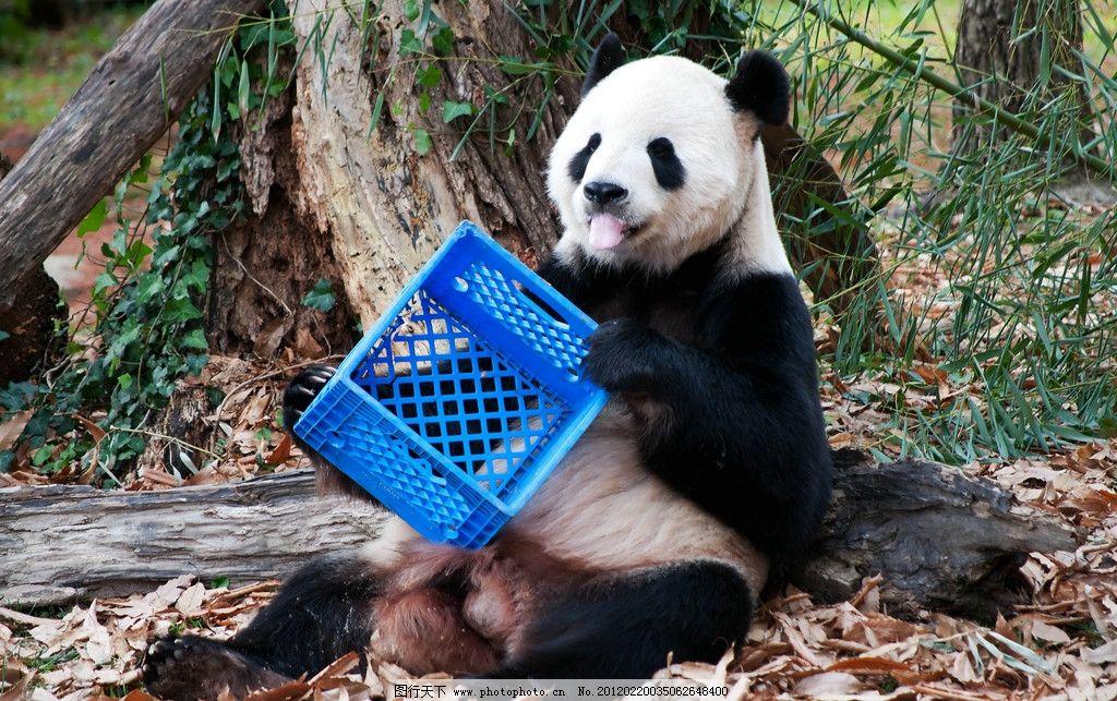 大熊猫 动物摄影 国宝 中国大熊猫 熊猫素材