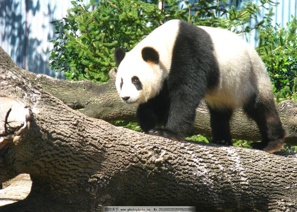大熊猫 动物摄影 野生动物 国宝 中国大熊猫 熊猫素材 生物世界
