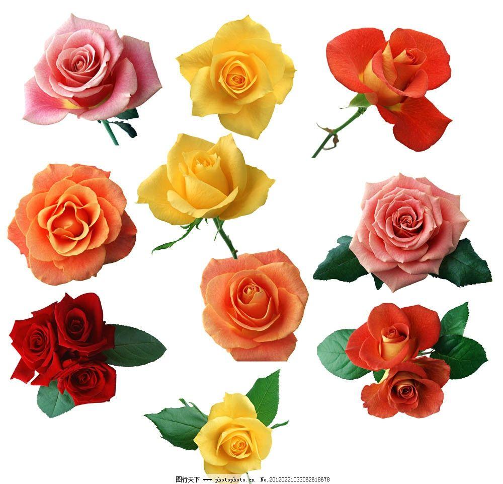 玫瑰花朵大全图片图片