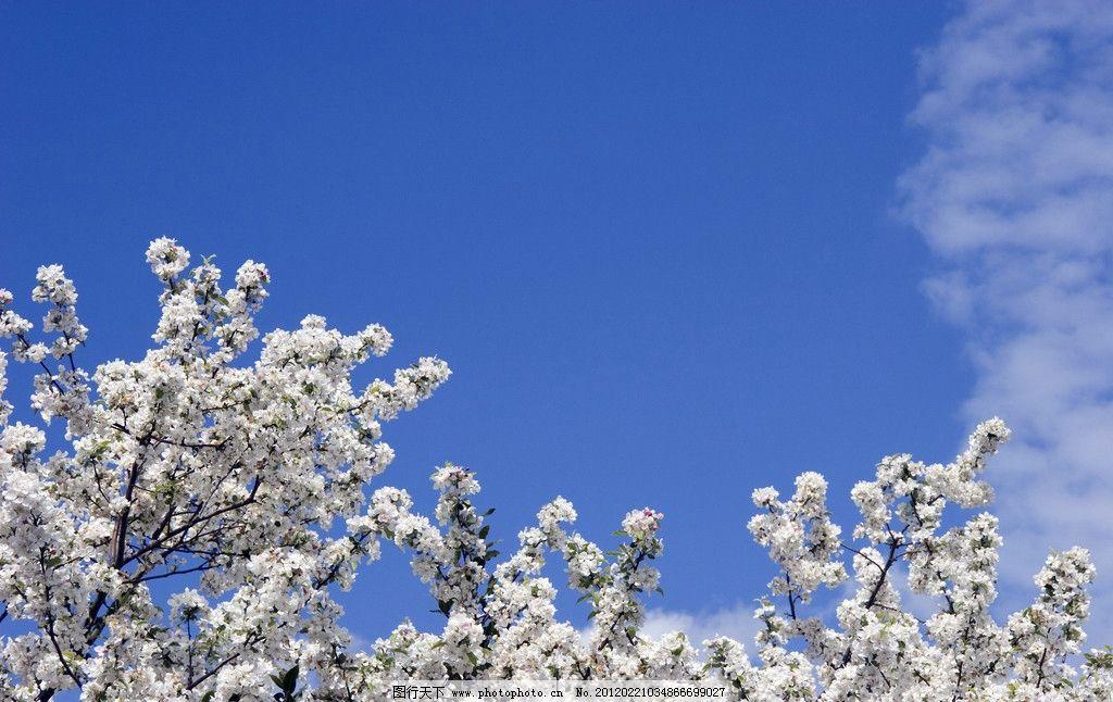 白色樱花 仙樱花 福岛樱 青肤樱 图库 花卉 花草 生物世界 摄影 240