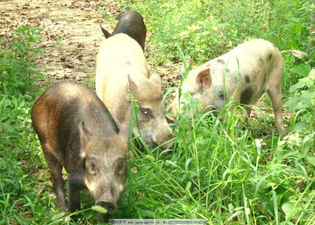 野猪 动物 野生动物 生物世界 摄影
