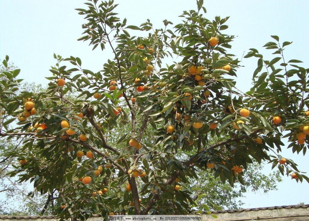 柿子 树木 水果 生物世界 摄影 72dpi jpg