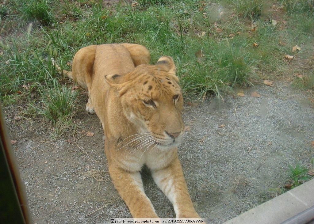 狮虎兽 狮子 老虎 野生动物 动物 摄影 动物坐姿 动物静态 72dpi jpg