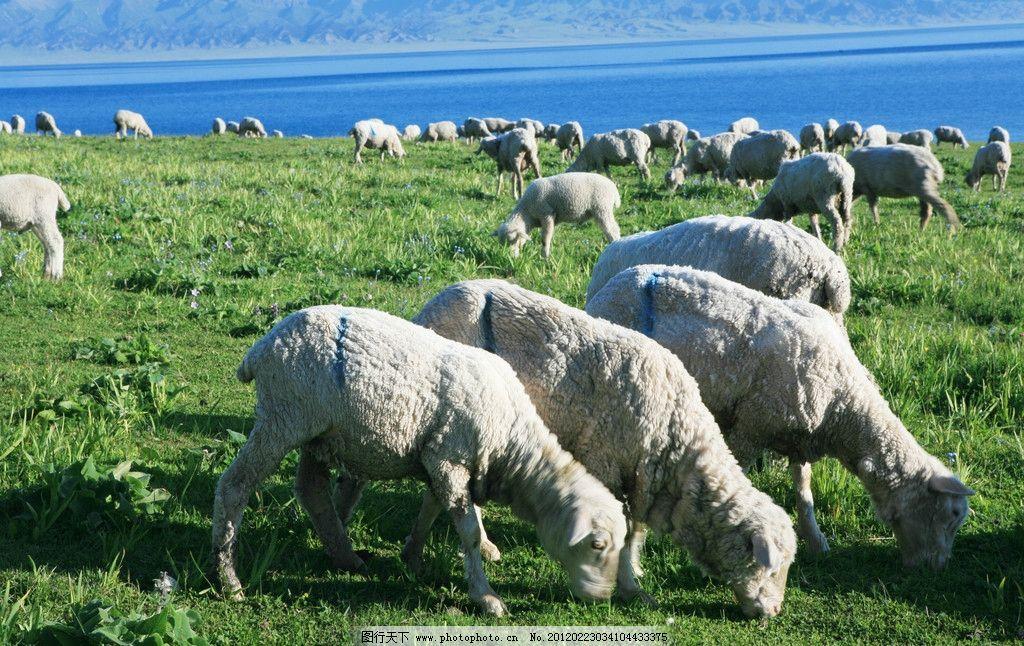 新疆赛里木湖风景 蓝天 白云 远景山 近景山坡 草地 羊群 绵羊 赛里木
