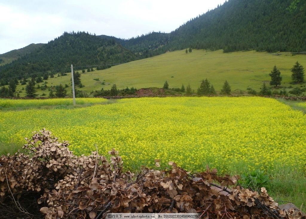 高原油菜花 西藏 花儿 艳丽 漂亮 高山 好风景 摄影