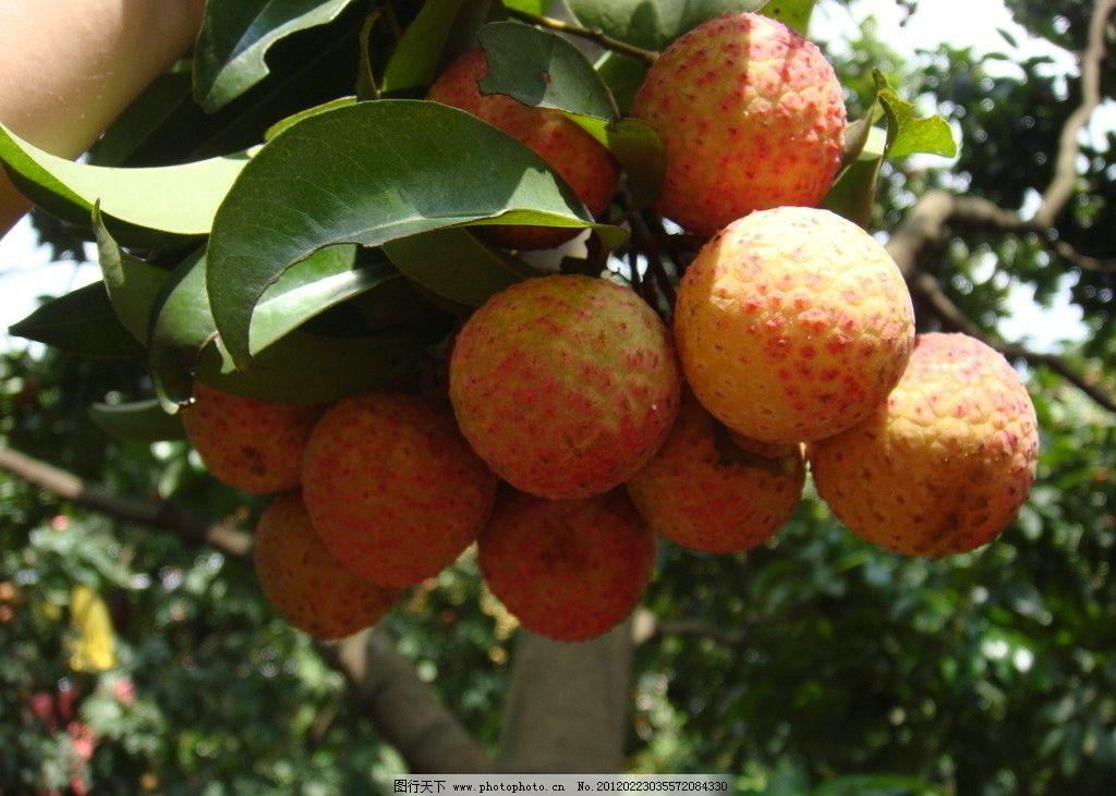 荔枝 叶子 荔枝树 果实 荔枝果实 水果 生物世界 摄影 72dpi jpg