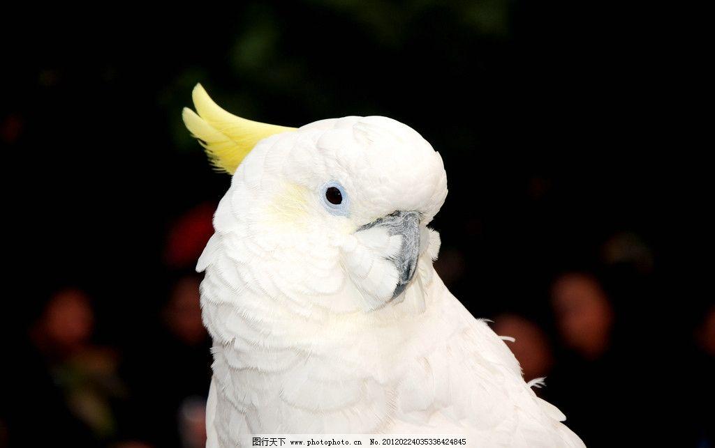 白色鹦鹉 可爱 漂亮 鸟类 生物世界 摄影