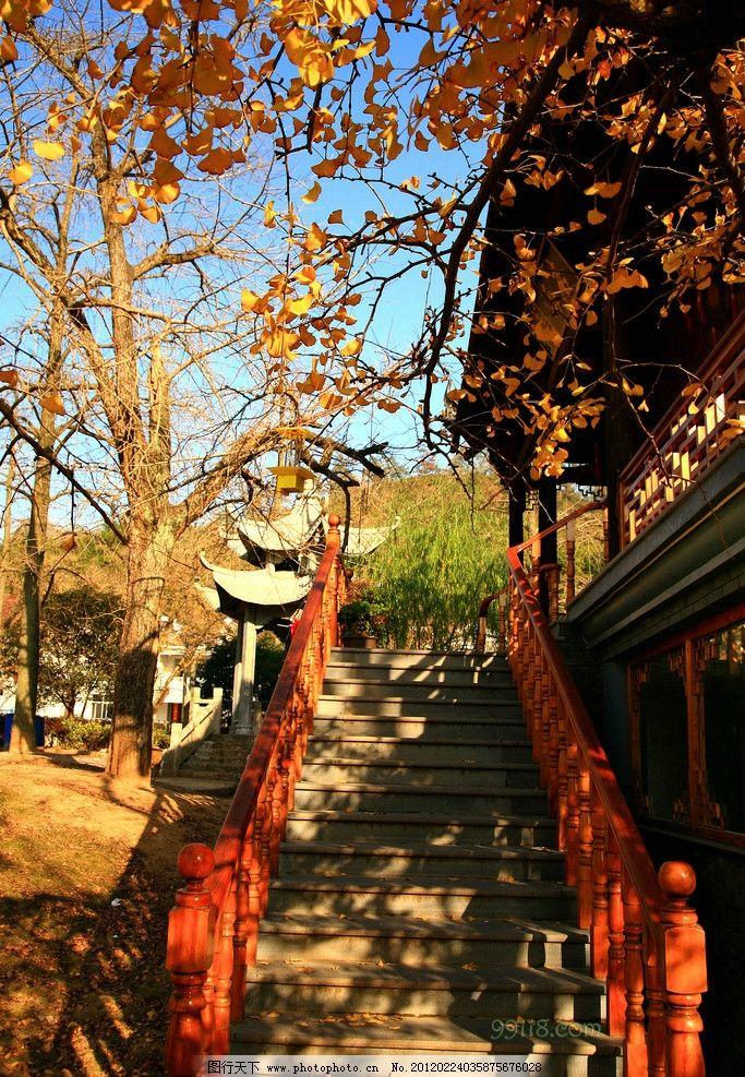 浙江 长兴银杏 旅游摄影 秋天 景色 阳光 枫叶楼阁 银杏树 自然风景