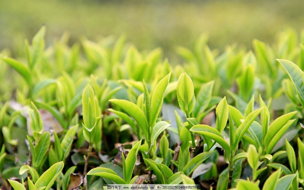 茶场 采茶 茶树 田园 田园风光 农忙 生态 自然 自然美景 自然风景