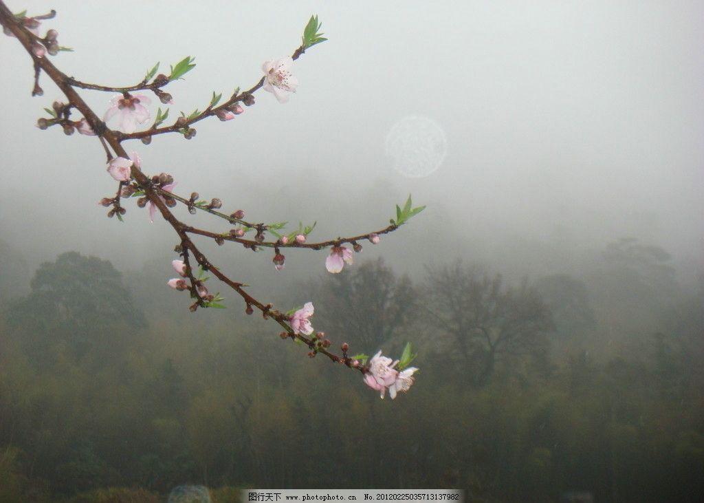 桃花 桃叶 树枝 大雾 远山 竹林 树林 春花 花草 生物世界 摄影 72dp