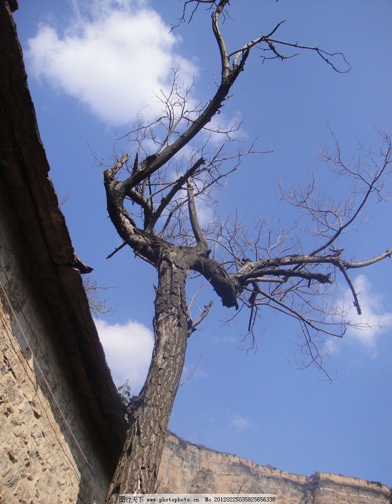 枯藤老树 枯藤老树昏鸦 老树 枯树 蓝天 白云 树木树叶 生物世界 摄影
