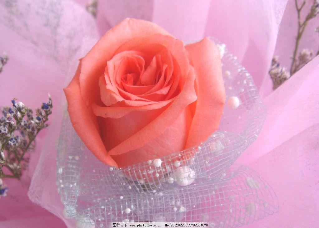 玫瑰花 柔红花 绿叶 礼品鲜花 紫色满天星 柔红色 白色 包装 花草