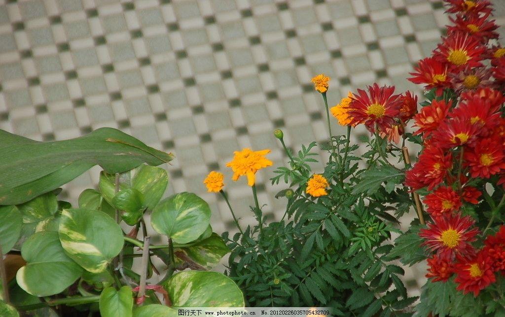 盆景 花朵 菊花 植物 太阳花 花草 生物世界 摄影
