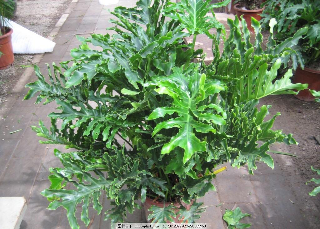 春芋 綠植 盆栽植物 室內盆景 盆景素材 盆景花卉 植物盆景 室內綠植