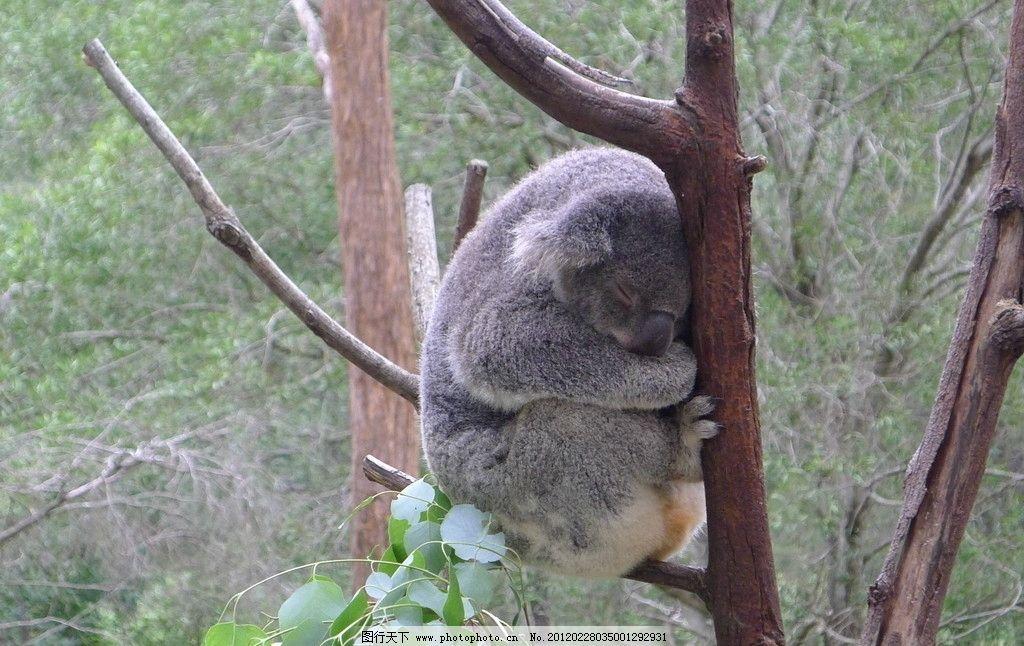 树袋熊 灰色 可爱 睡觉 树枝 野生动物 生物世界 摄影