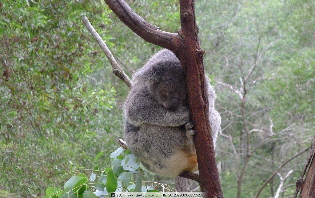 树袋熊 灰色 可爱 睡觉 树枝 野生动物 生物世界 摄影 180dpi jpg