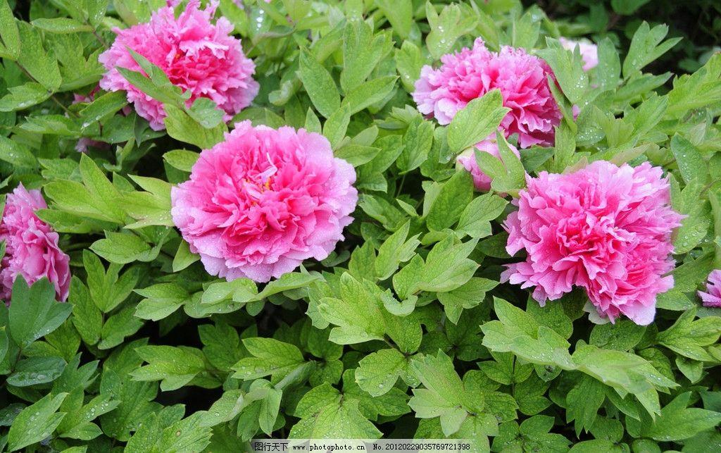 牡丹花 牡丹 公园 花园 花展 花海 生态公园 自然 花草 生物世界 摄影