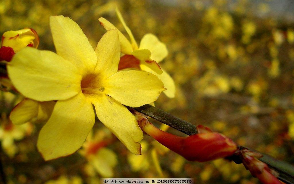 迎春花 公园 春天 生态公园 自然 花草 生物世界 摄影 300dpi jpg